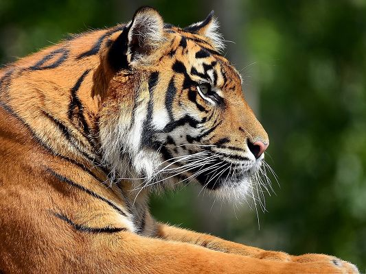 click to free download the wallpaper--Bengal Tiger Image, Determined Eyes Looking Faraway, It is the Decent King