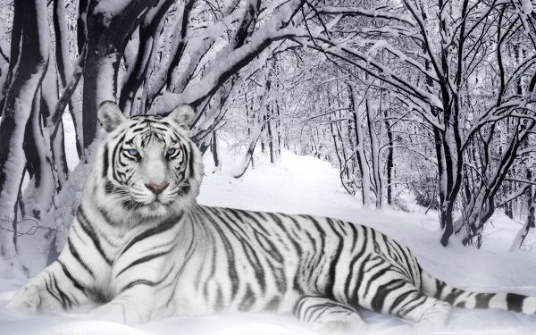 Bengal Tiger Pic, Beautiful Tiger in Snow, Impressive and Amazing Look