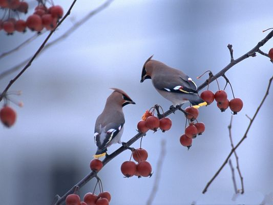 click to free download the wallpaper--Bird Photography, Two Birds on Thin Branch, Red Cherries