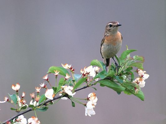 click to free download the wallpaper--Bird Photos, Little Bird Standing on Tree Branch, White Blooming Flowers