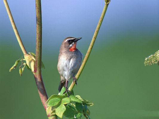 click to free download the wallpaper--Bird Pictures, Lonely Bird on Green Branch, Stand Firmly