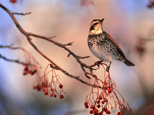 click to free download the wallpaper--Bird Wallpaper, Dry Red Cherries, Lonely Bird on Thin Branch