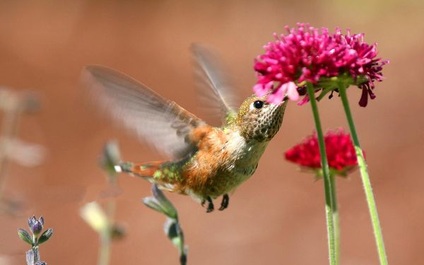 click to free download the wallpaper--Bird and Flower Picture, Hummingbird Around Pink Blooming Flower