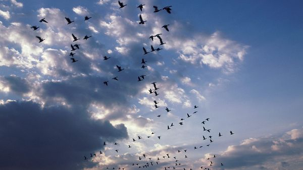 click to free download the wallpaper---Birds Flying Freely in the Sky, There is No Restriction to Them at All, Live Well and Fly High - HD Flying Birds Wallpaper