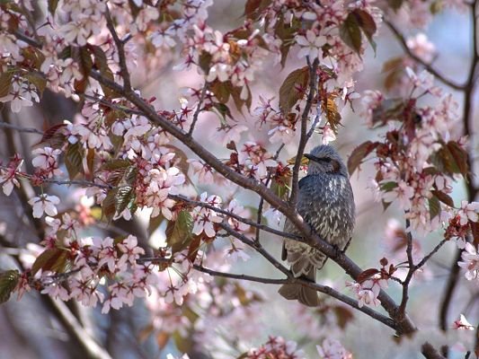 click to free download the wallpaper--Birds Image, Gray Bird in the Forest, Pink Blooming Flowers