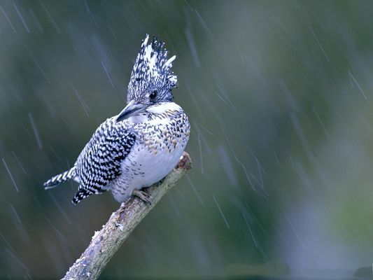 Birds Photography, Tough Bird in Heavy Rain, Never Step Back