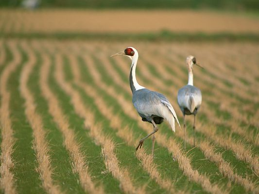 click to free download the wallpaper--Birds Photography, Walking in the Field, Find Something to Eat