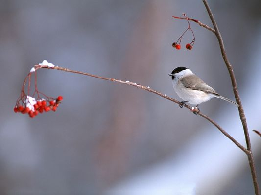 click to free download the wallpaper--Birds Photos, Little Bird on Thin Branch, Red Cherries