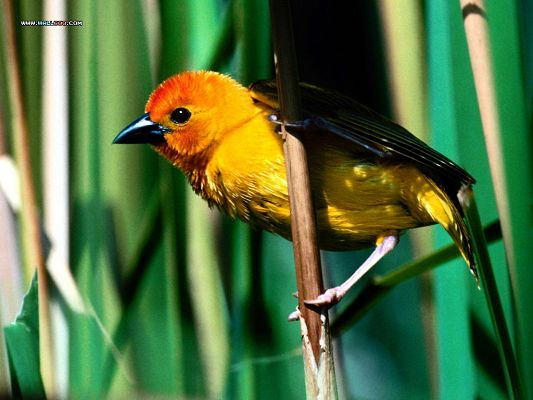 click to free download the wallpaper--Birds Picture, Golden Weaver on Thin Branch, Sunlight Pouring