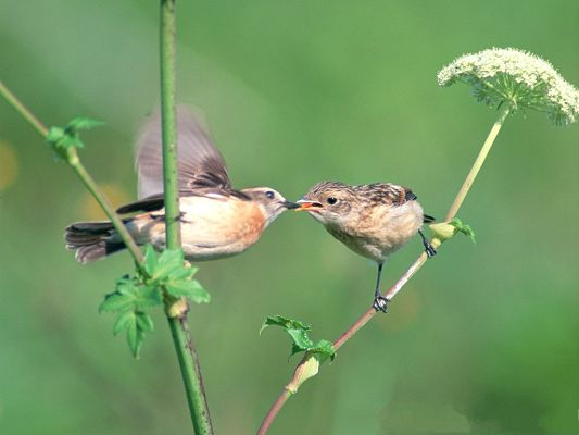 click to free download the wallpaper--Birds Pictures, Love and Deep Affection Between Small Birds, Kissing Each Other?