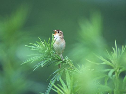 click to free download the wallpaper--Birds Pictures, Standing Still on Green Plants, Little Bird in Scream