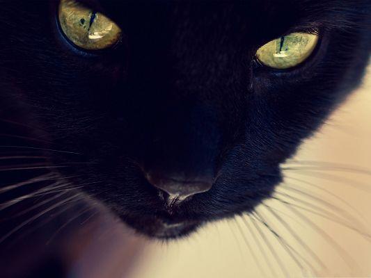 Black Cat Wallpaper, Kitten in Yellow Eyes, Impressive ...