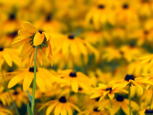 click to free download the wallpaper--Black Eyed Susan Flowers, Yellow Flowers, Great Flower Sea