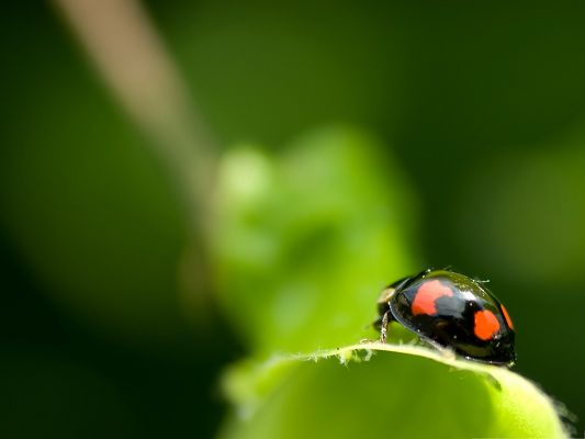 click to free download the wallpaper--Black Ladybug Pic, Little Insect on Green Plant, Great in Look