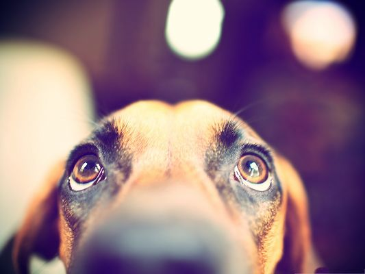 click to free download the wallpaper--Black and Tan Coonhound, Puppy Looking Up, Paying Great Respect
