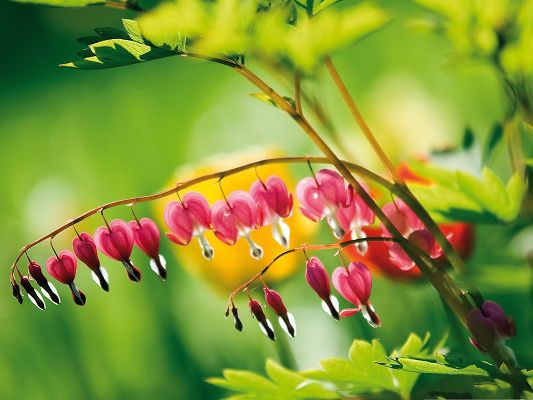 click to free download the wallpaper--Bleeding Heart Flowers, Pink Little Flowers, Romantic and Sweet Scene