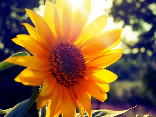 click to free download the wallpaper--Blooming Sunflower Photos, Sunflowers Under Sunshine, Amazing Scene