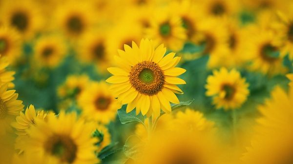 Blooming Sunflowers, All Proud to Have Faces Shown, They Are Indeed Beautiful and Attractive, a Great Fit - HD Natural Scenery Wallpaper
