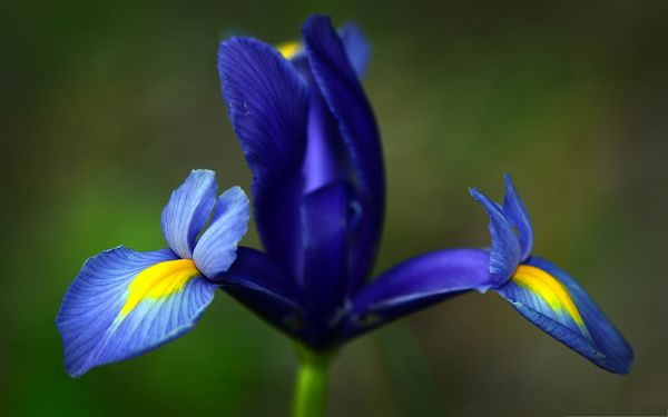 click to free download the wallpaper--Blue Flower Picture, Iris Flower in Bloom, Green Stem, Incredible Scene