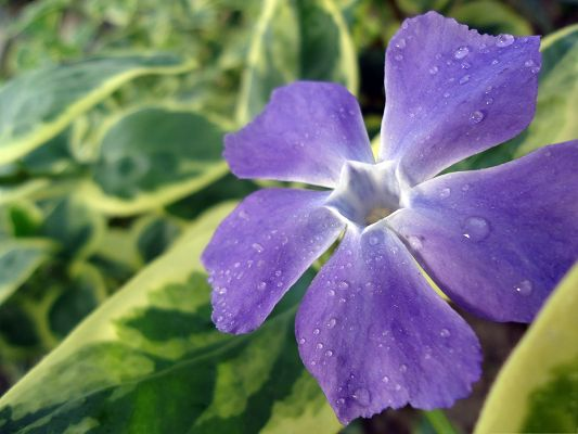 click to free download the wallpaper--Blue Flower Pictures, Blooming Flower with Rain Drops on the Petal