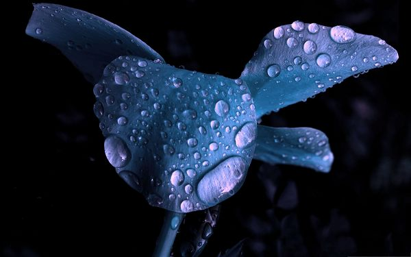 click to free download the wallpaper--Blue Flower Pictures, Fresh Flowers with Rain Drops on the Petal