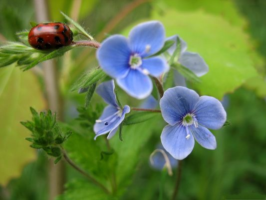 click to free download the wallpaper--Blue Flowers Picture, Ladybug Approaching Blue Flowers, Be Slow and Careful!