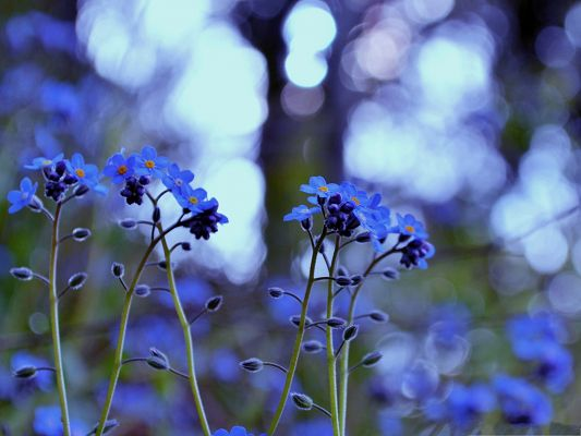 click to free download the wallpaper--Blue Flowers Picture, Little Blooming Flower and Green Stamen, Incredible Scene