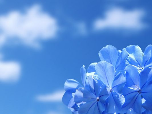 Blue Flowers Picture, Little Flowers in Full Bloom, the Blue Sky Above