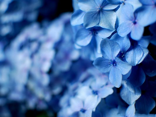 Blue Hydrangea Flowers, Little Flowers in Bloom, a Full Eye of Blue