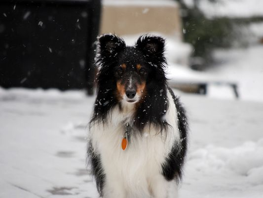 click to free download the wallpaper--Border Collie Image, Stay in the Snow, Sad Look, Seeing Your Dear Off?