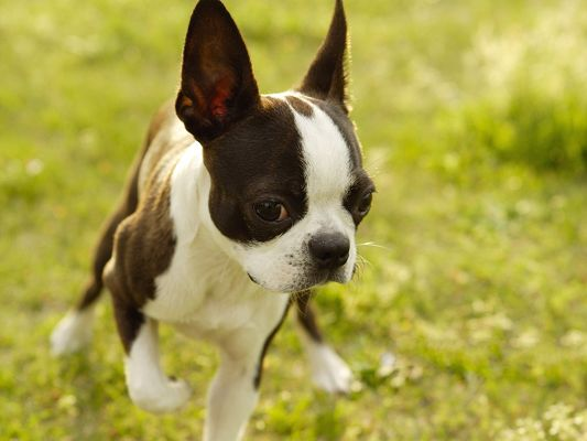 click to free download the wallpaper--Boston Terrier Dog Image, Running in Green Grass, Great Mood