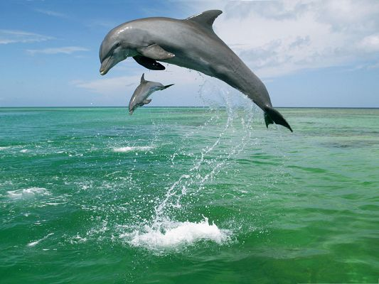 click to free download the wallpaper--Bottlenose Dolphins Wallpaper, Active Dolphins Jumping Out of the Sea, a Great Scene