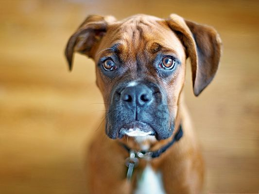 click to free download the wallpaper--Boxer Dog Picture, Aggrieved Puppy, Don't be Like This, You Will be Forgiven