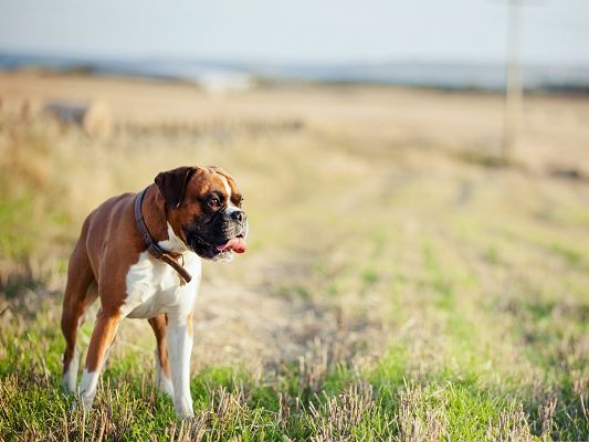 Boxer Dog Picture, Puppy Walking Alone, Where is Your Master?