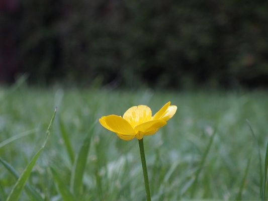 click to free download the wallpaper--Butter Cup Flowers, Lonely Yellow Flower Among Green Grass, Amazing Scene