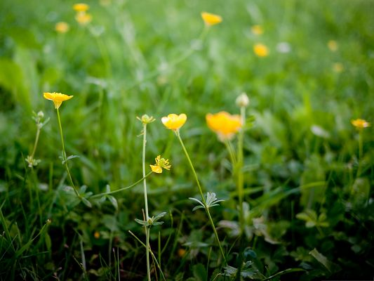 click to free download the wallpaper--Buttercup Flowers Picture, Yellow Flower in Bloom, Green Grass Around