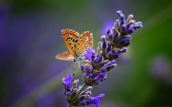 click to free download the wallpaper--Butterfly and Flower, Beautiful Butterfly on Lavender Flower, Incredible Scene