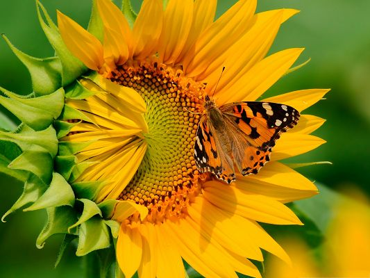 click to free download the wallpaper--Butterfly and Flower, Brown Butterfly on Sunflower, Peaceful and Amazing Scenery