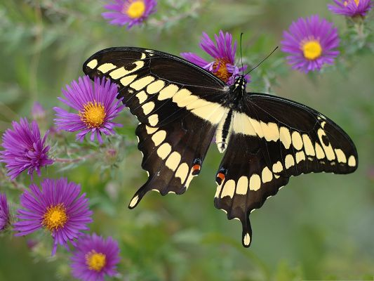 click to free download the wallpaper--Butterfly and Flowers, Black Butterfly on Purple Flowers, Incredible Scene