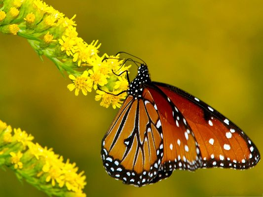 click to free download the wallpaper--Butterfly and Flowers, Monarch Butterfly on Yellow Flowers, Amazing Scene