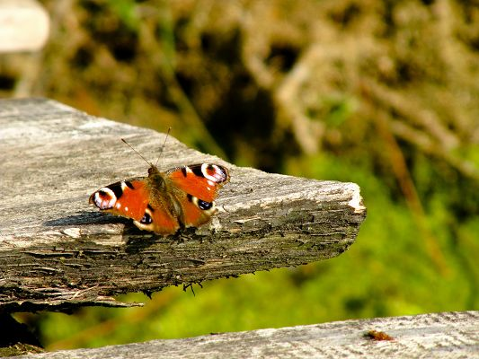 click to free download the wallpaper--Butterfly in Nature, Colorful Butterfly on Wooden, Great Scenery