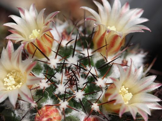 click to free download the wallpaper--Cactus Flower Images, Blooming Flowers Under Macro Focus, Snow-Covered Flower Heads