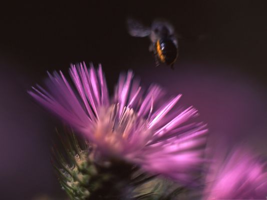 click to free download the wallpaper--Cactus Flower and Insect, Blooming Flower, Flying Bee Attracted to It