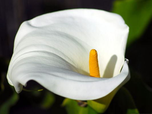 Calla Flowers Picture, White Flower in Bloom, Yellow Stamen, Pure and Respected