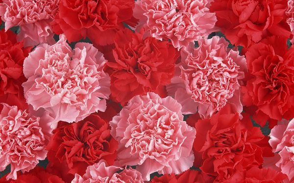 Carnation Flower Photography, Red and Pink Flowers, for Beloved Mommy
