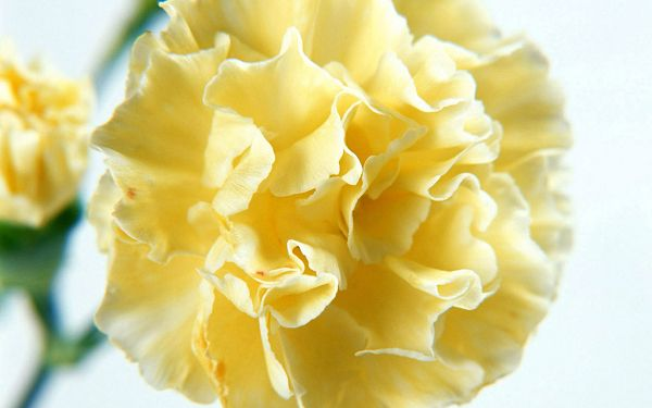 click to free download the wallpaper--Carnation Flowers Image, Yellow Flower, Cozy and Comfortable Scene