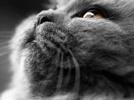 click to free download the wallpaper--Cat Photos, Grey Cat's Face for Widescreen, Clear and Attentive Eyes