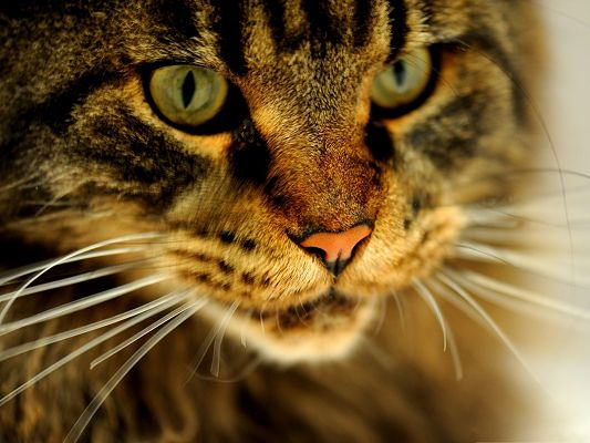 click to free download the wallpaper--Cat Wallpaper, Brown Cat's Face Portrait, Impressive and Amazing Look