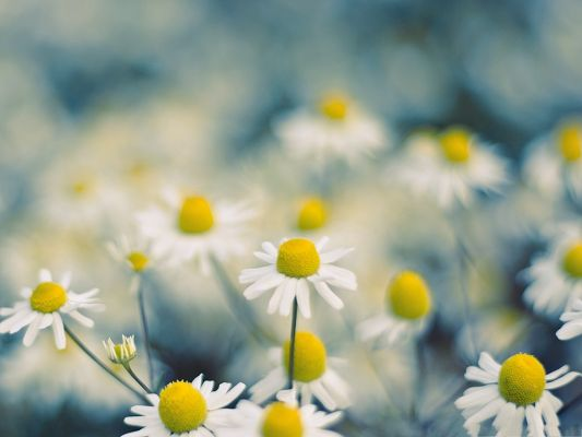 Chamomile Flowers Image, White Blooming Flowers and Yellow Stamen