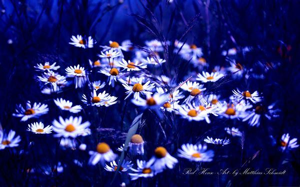 Chamomile Flowers Picture, White Flowers in Bloom, Pure and Great Look
